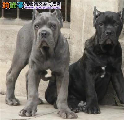 呼和浩特本地繁育赛级品质卡斯罗犬幼犬出售签协议包活
