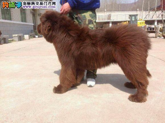 福州出售优质纽芬兰犬大体型 威武 欢迎加微信