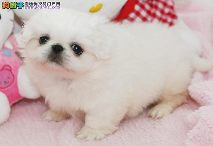 老北京犬中国人自己的小型犬纯种京巴欢迎加微信看狗