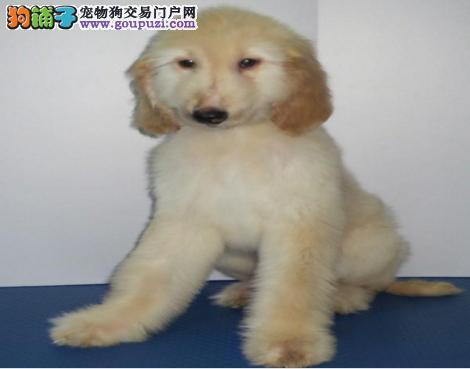 齐齐哈尔长毛飘逸气质非凡阿富汗猎犬幼犬待售 高品质