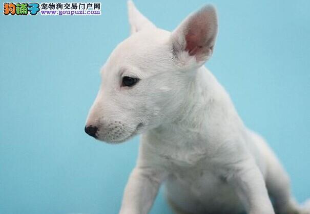 上海出售牛头梗犬健康纯种疫苗驱虫均已做签协议