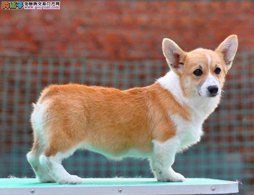 广州出售纯种柯基幼犬 威尔士柯基犬 信誉保证诚信保证