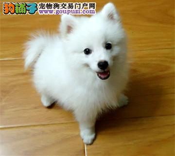 长沙哪里有银狐犬出售的 纯种银狐幼犬多少钱一只