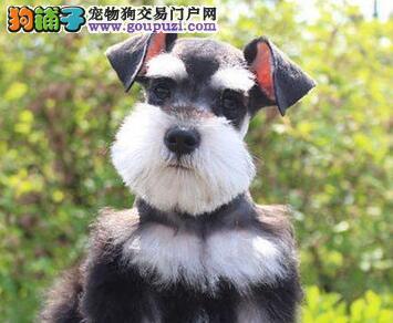 贵阳信誉犬舍直销纯种雪纳瑞 身型好身体健康保质量
