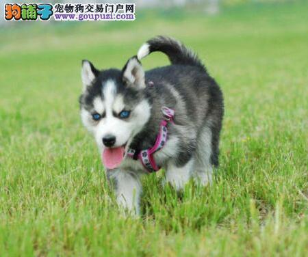 天津售 哈士奇 二哈幼犬小哈疫苗驱虫已做可视频看狗
