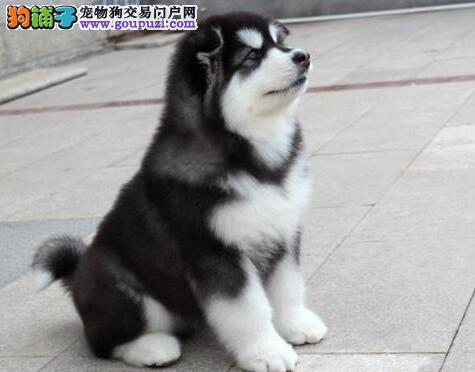 杭州繁育纯正巨型阿拉斯加雪橇犬欢迎到场选购阿拉斯加