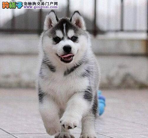 天津养殖基地直销哈士奇西伯利亚雪橇犬签协议送用品