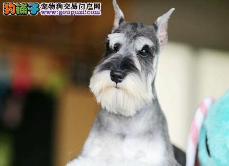 自家犬舍繁殖出售纯种椒盐色南昌雪纳瑞 有血统证书