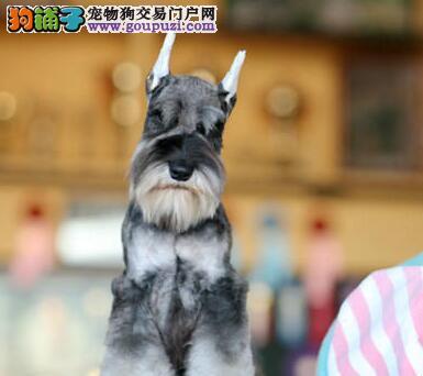 出售纯种小马造型雪纳瑞 南宁周边建议上门看狗保品质