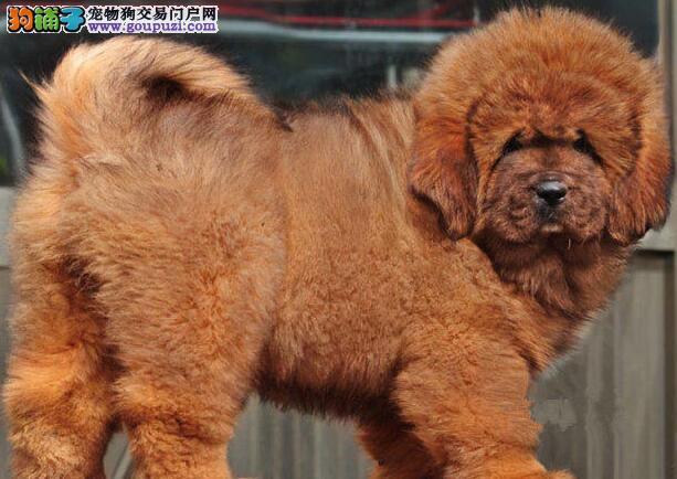 北京市出售藏獒幼犬 带血统证书芯片 价格优惠 可上门