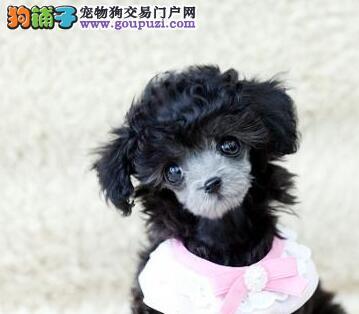 欢迎上门选购精品韩系血统青岛贵宾犬 免费接种疫苗