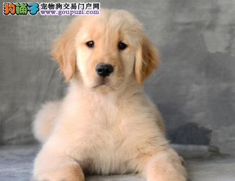 昆明金毛幼犬找爸爸妈妈 承诺售后三包