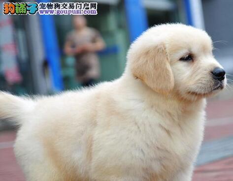 大骨架纯种济南金毛犬热销中 欢迎来犬舍直接购买图片
