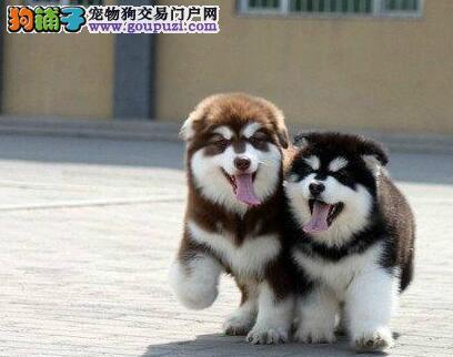 渝中双血统阿拉斯加犬包纯种健康签协议送用品可优惠