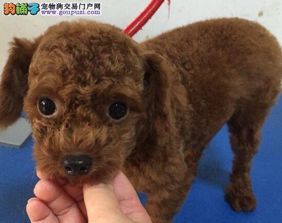 家养繁殖茶杯玩具可爱的韩国血统贵宾犬 贵宾犬价格