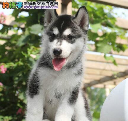 贵阳正规狗场低价出售哈士奇幼犬 大家放心选购爱犬