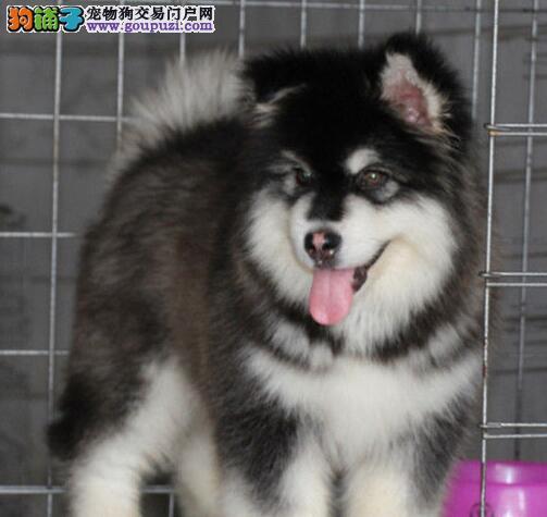 转让十字脸的阿拉斯加犬 贵阳市内免费送货上门看狗