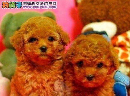 深红色的南宁贵宾犬低价出售 品相好不好看了才知道