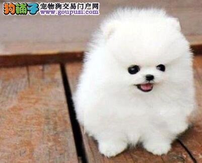 自家繁殖精品博美犬出售济南周边地区购买可送用品