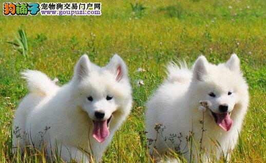 北京售精品萨摩耶 萨摩幼犬微笑天使公母全有可挑选
