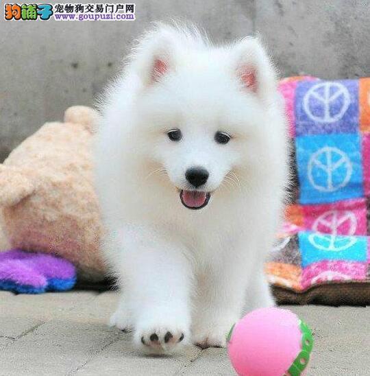 长沙本地繁殖纯血统澳版萨摩耶幼犬品相好包健康可检测