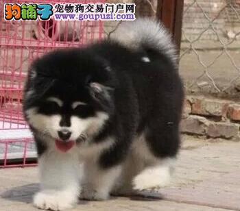 正规犬舍出售阿拉斯加雪橇犬乌鲁木齐市内可送货