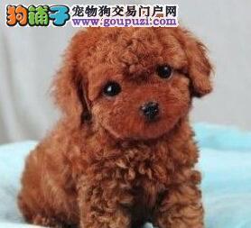 韩系卡哇伊微小 茶杯泰迪熊出售三年包换