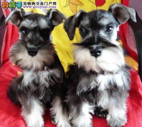 南京本地犬舍直销白胡子雪纳瑞幼犬防疫完毕三证齐全