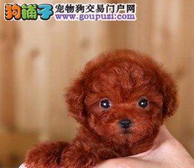 出售极品韩系北京贵宾犬 疫苗已做齐可办理血统证书