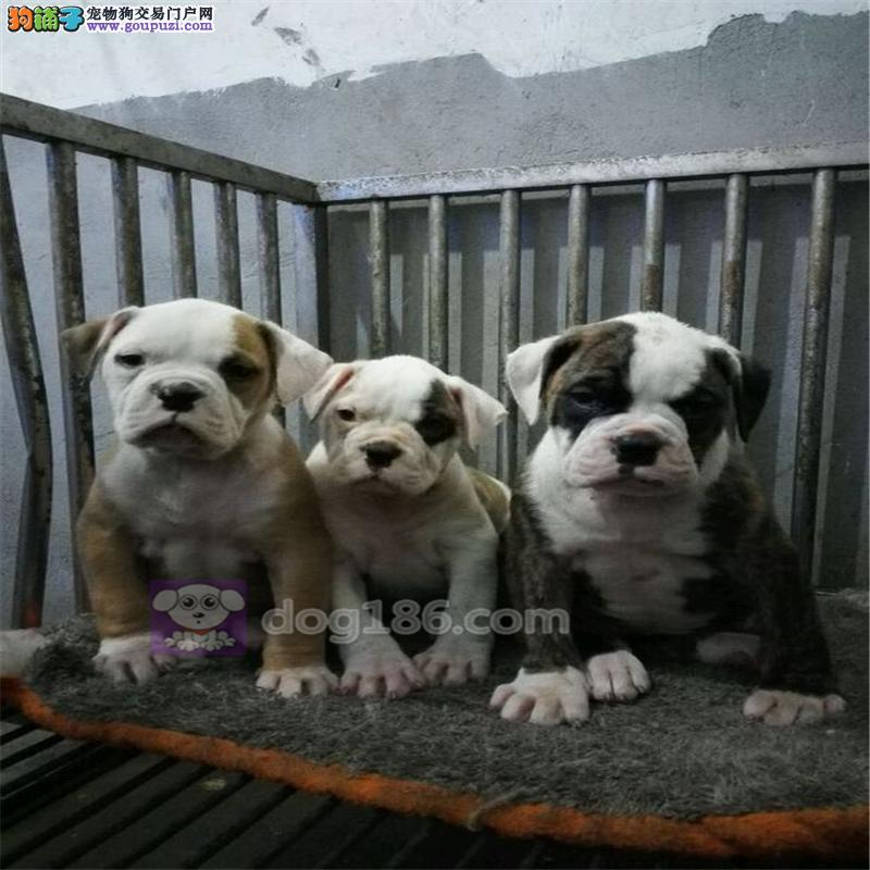 徐州市出售美国斗牛犬 公母都有疫苗齐全免费饲养指导