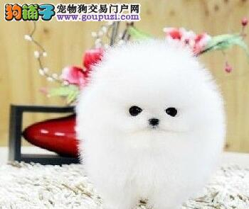 犬舍直销球形博美犬郑州地区购买可赠送狗粮