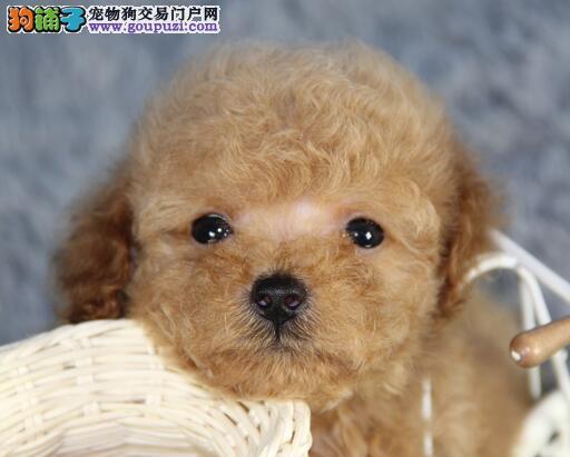 实体狗场低价出售长沙泰迪幼犬 保证血统颜色齐全图片
