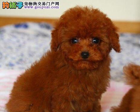 纯种红咖啡色泰迪犬巧克力色泰迪熊幼犬可上门选购图片