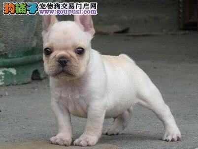 精品纯种南宁法国斗牛犬出售质量三包专业繁殖中心值得信赖图片