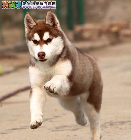 长沙自家繁殖哈士奇雪橇犬 可微信看狗 签订协议有保障