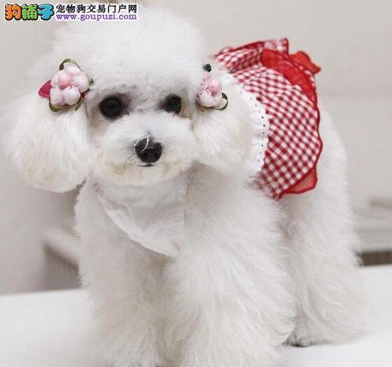 北京繁殖基地直销纯种贵宾犬 保健康绝对直销的价格图片