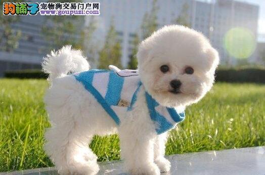 女神必备爱犬大眼睛双血统比熊宝宝, 今日购犬有优惠图片