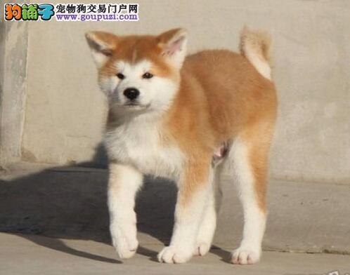 犬舍直销顶级福州秋田犬 公母都有有售后保证可空运图片