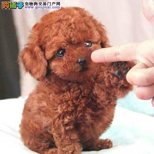 天津自家超萌苹果脸小体泰迪宝宝出售可上门看送狗粮