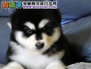 促销价直销济南阿拉斯加雪橇犬 毛色佳品相好保质量
