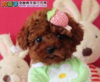 邢台市出售贵宾犬 健康纯种 多只多色可选 可上门选购
