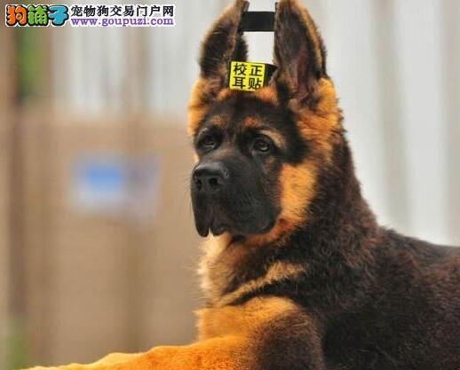 出售大头锤系血统的西安德国牧羊犬 一分价钱一分货图片