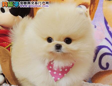 今年最流行的博美武汉特价啦 可上门挑选 可看狗父母
