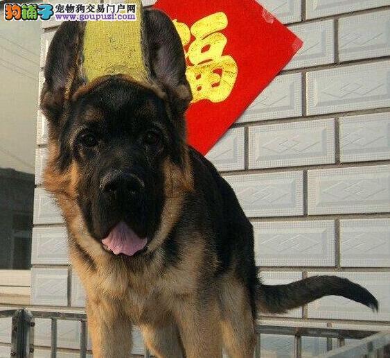 优惠促销顶级德国牧羊犬南昌周边地区可送货图片