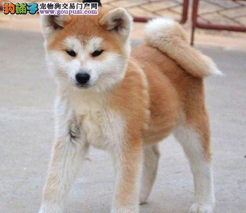 上海 赤血秋田幼犬,证书芯片齐全,今日购犬有优惠图片