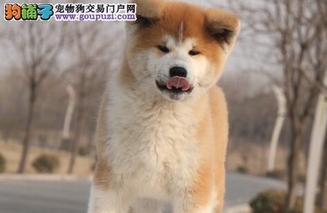 低价转让武汉自家繁殖的秋田幼犬 强壮 自信 独立性强图片