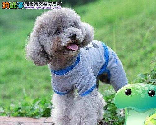 出售好品质贵宾犬北京地区购买可送用品图片