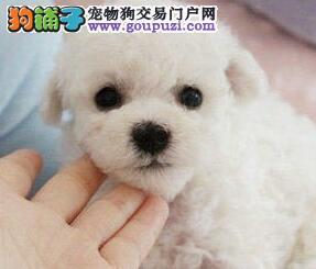 漂亮大眼睛 西安出售可爱法系 比熊犬纽扣眼棉花糖图片