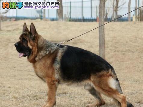 转让弓背纯血系的杭州德国牧羊犬 一分价钱一份货