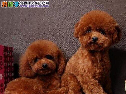 高品质韩系血统贵宾犬北京养殖场出售 已做疫苗